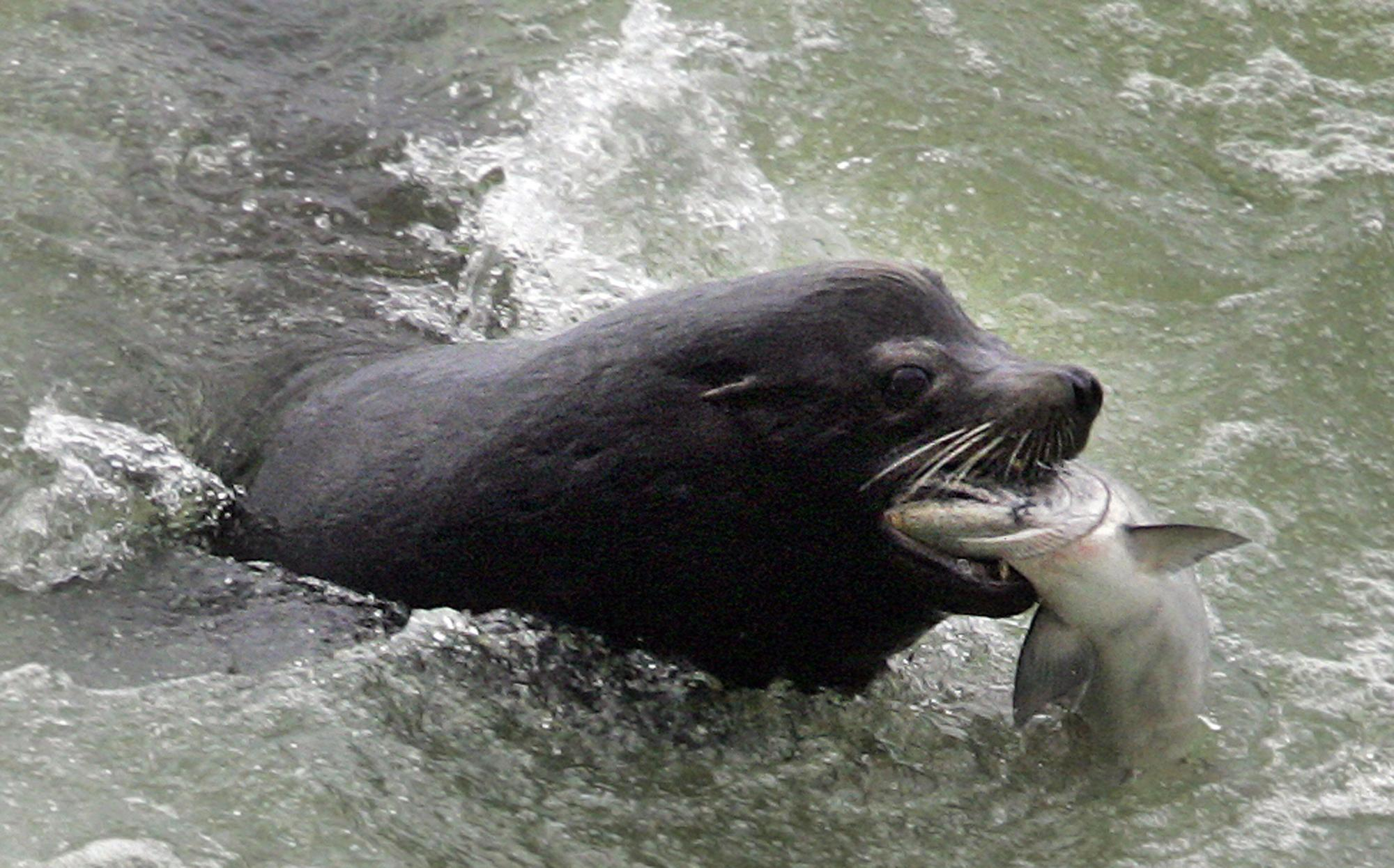 Sea lions devasting fish populations in Columbia River ...