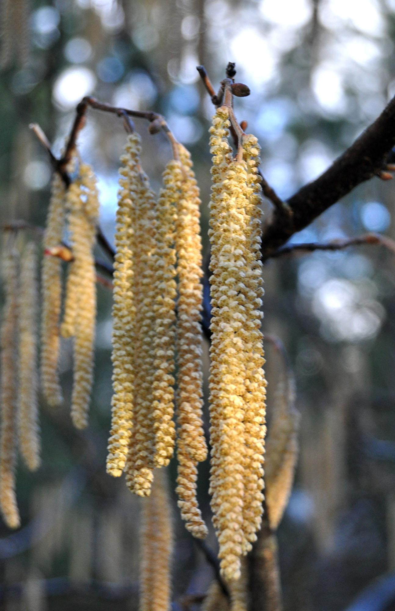 Gardening Early Bloomers Add Color To Seasonal Transition The
