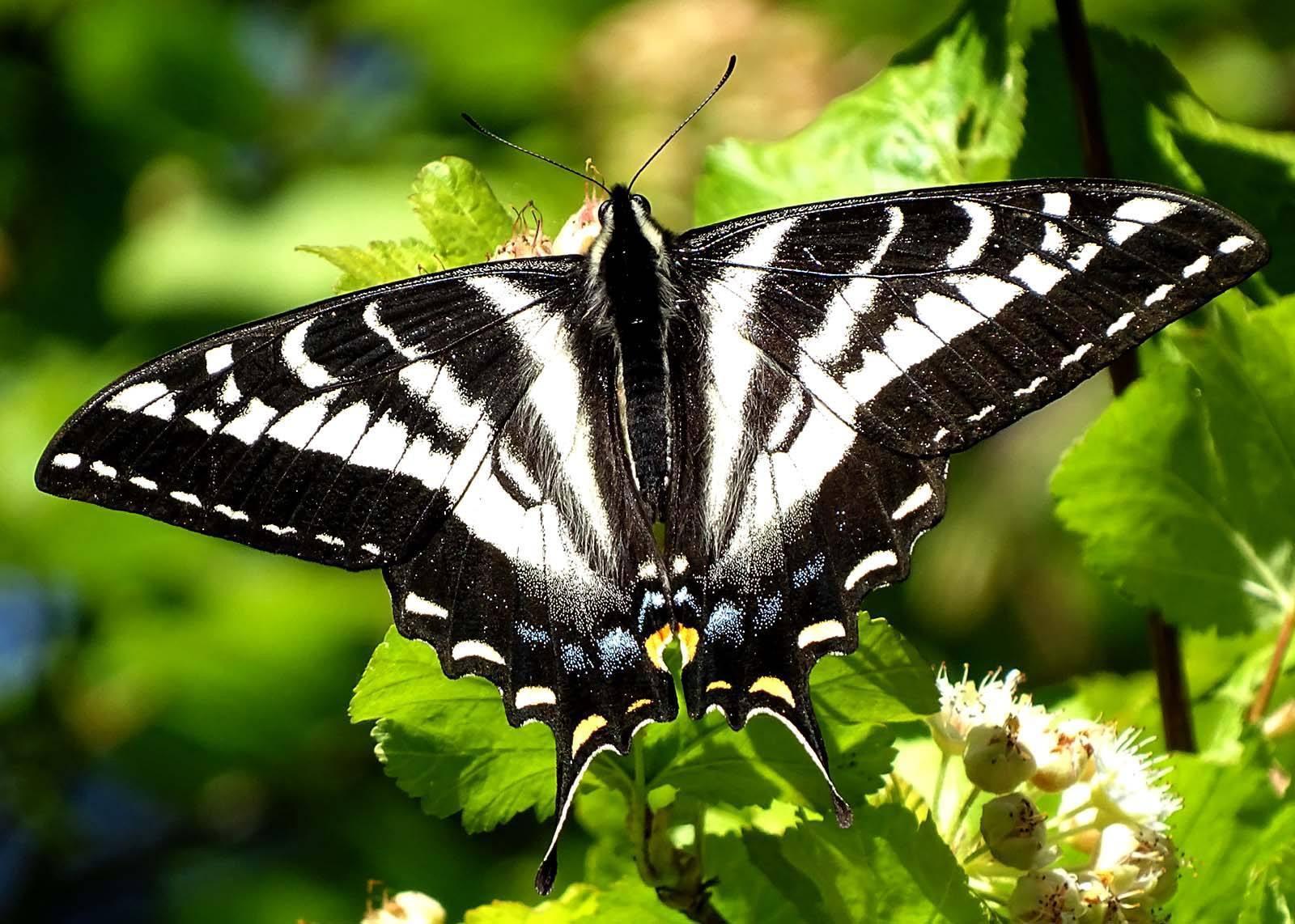 reader photo  pale swallowtail butterfly taking a break