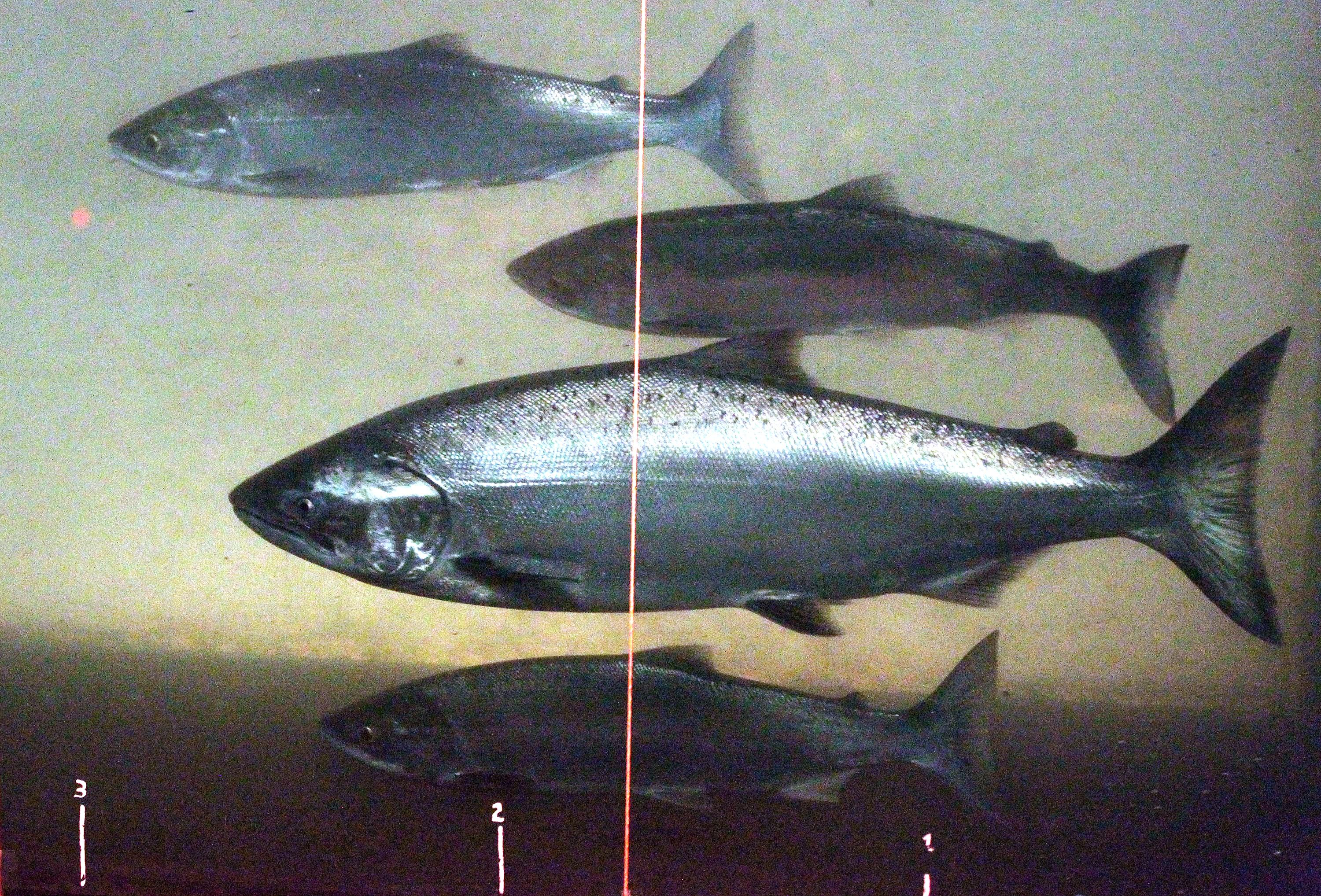 Hot water poses ongoing threat to columbia river salmon for Columbia river salmon fishing