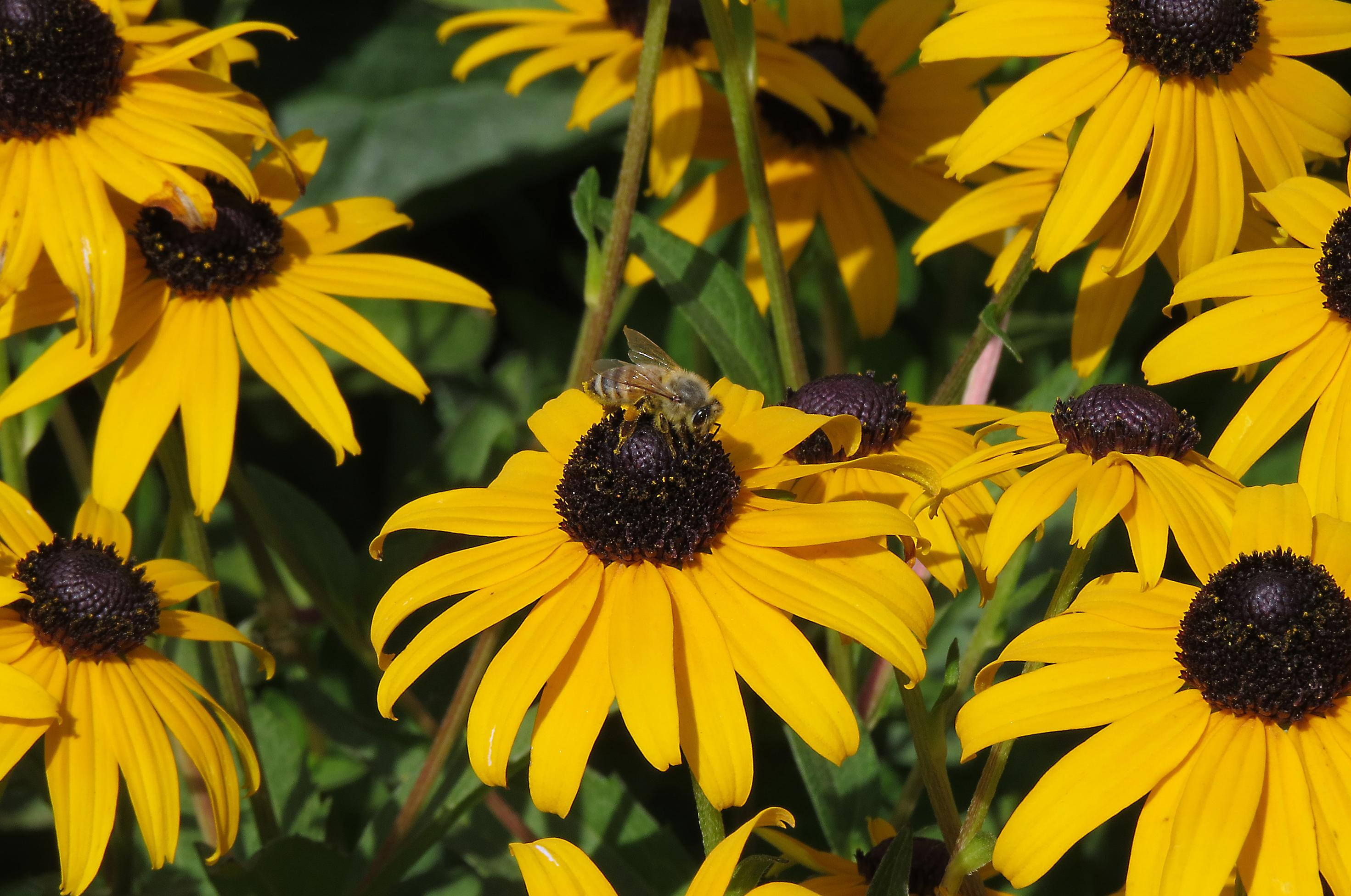 In the garden choose flowers that can take the heat the spokesman black eyed susans are perky heat tolerant perennials that attract pollinators mightylinksfo