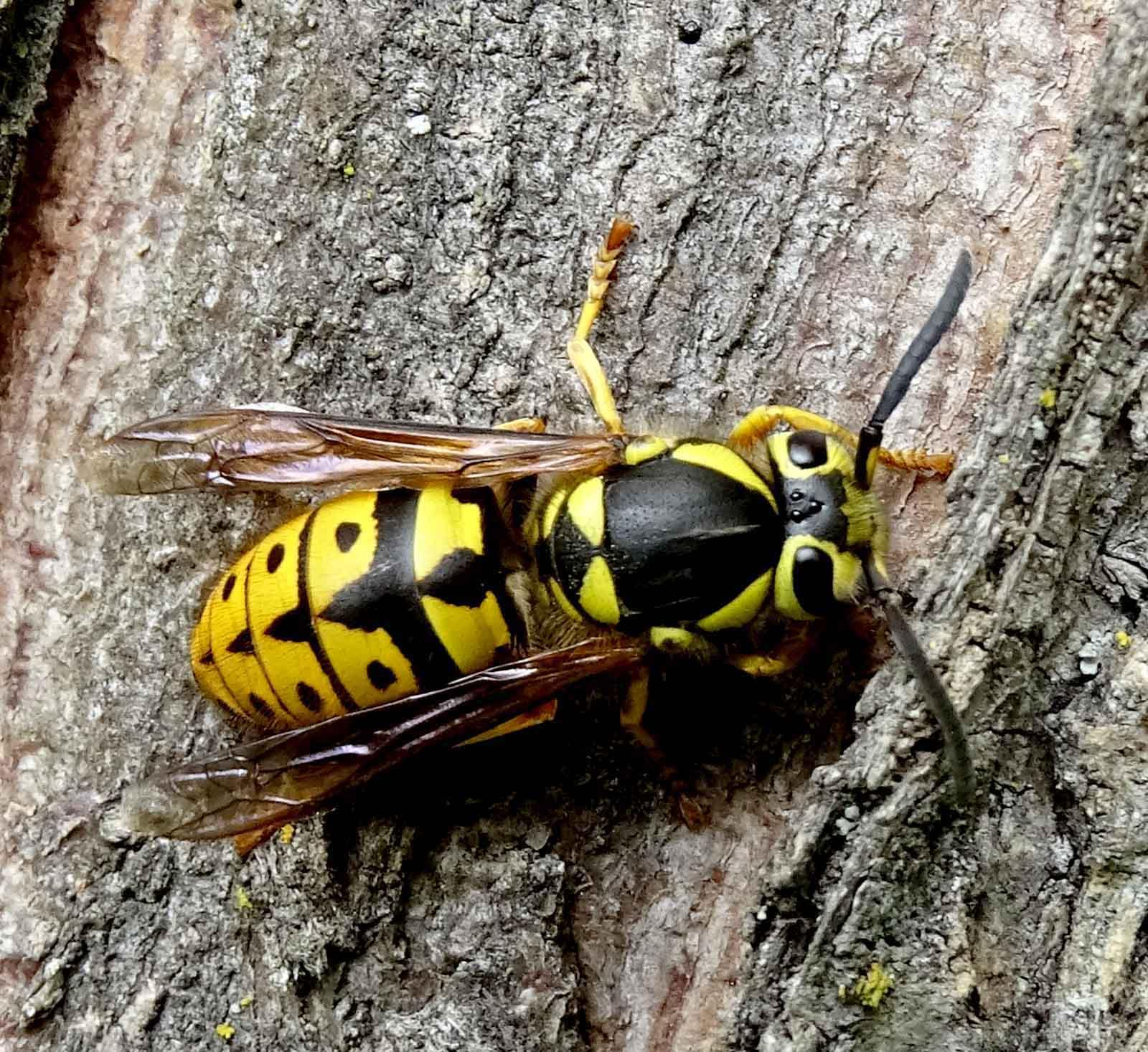 Rich Landers: Yellow jackets are wild friends with ...