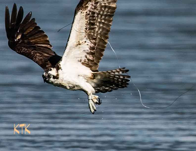 Fishing line a threat to osprey the spokesman review for Fishing line camera