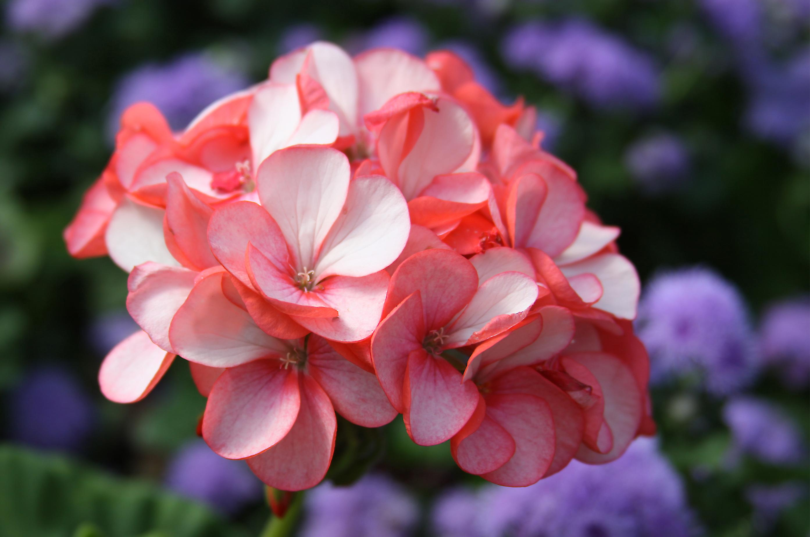 Geraniums Can Be Stored Enjoyed Again The Spokesman Review