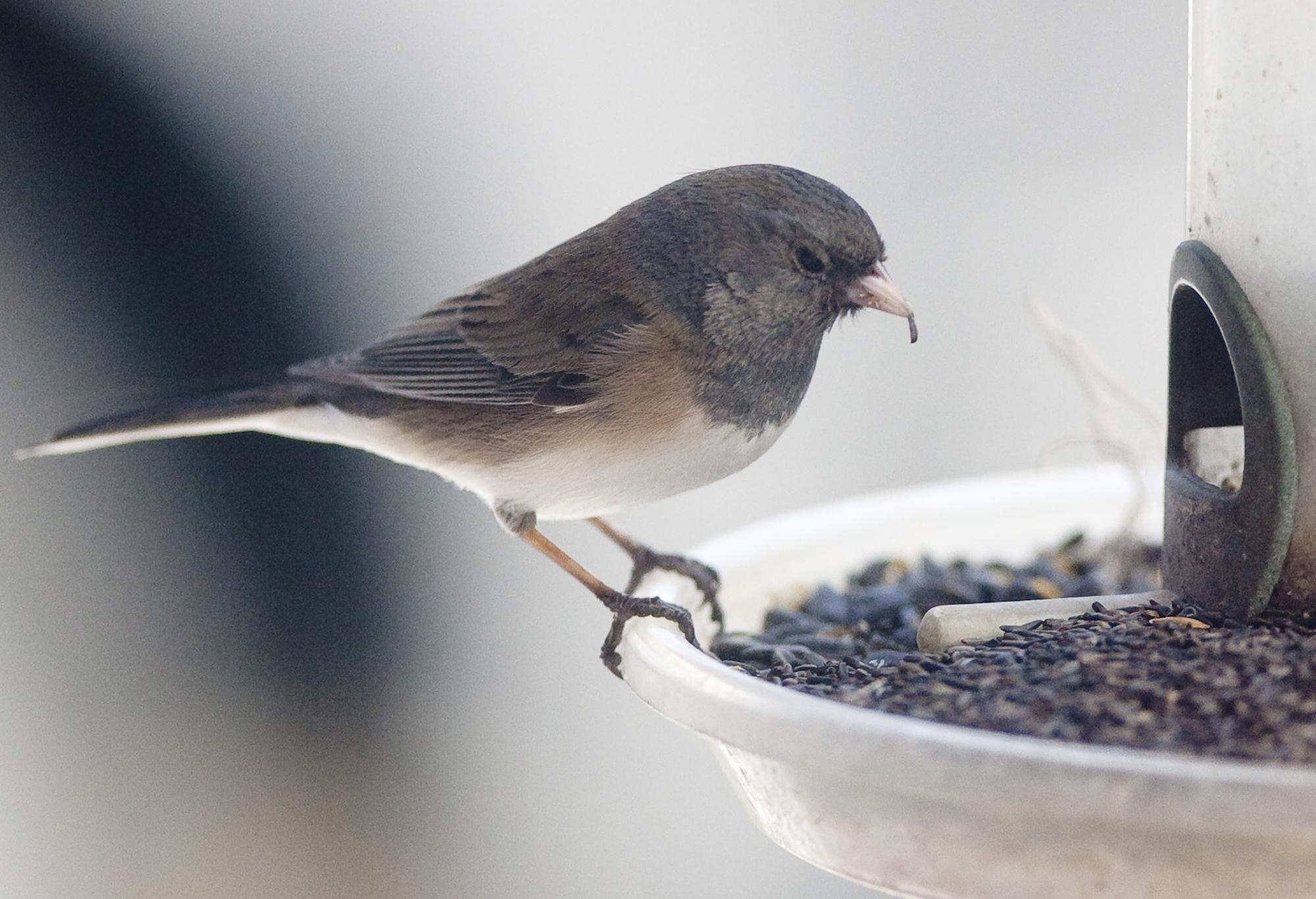 doug clark the bird feeder draws as many opportunists and bullies