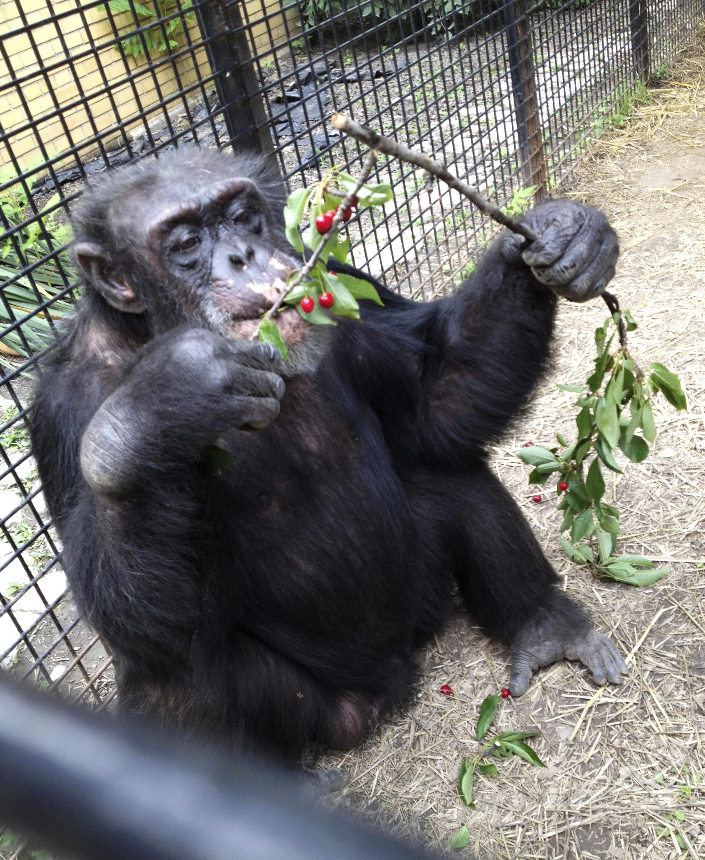 ny court asked to determine if chimp is legally a person the