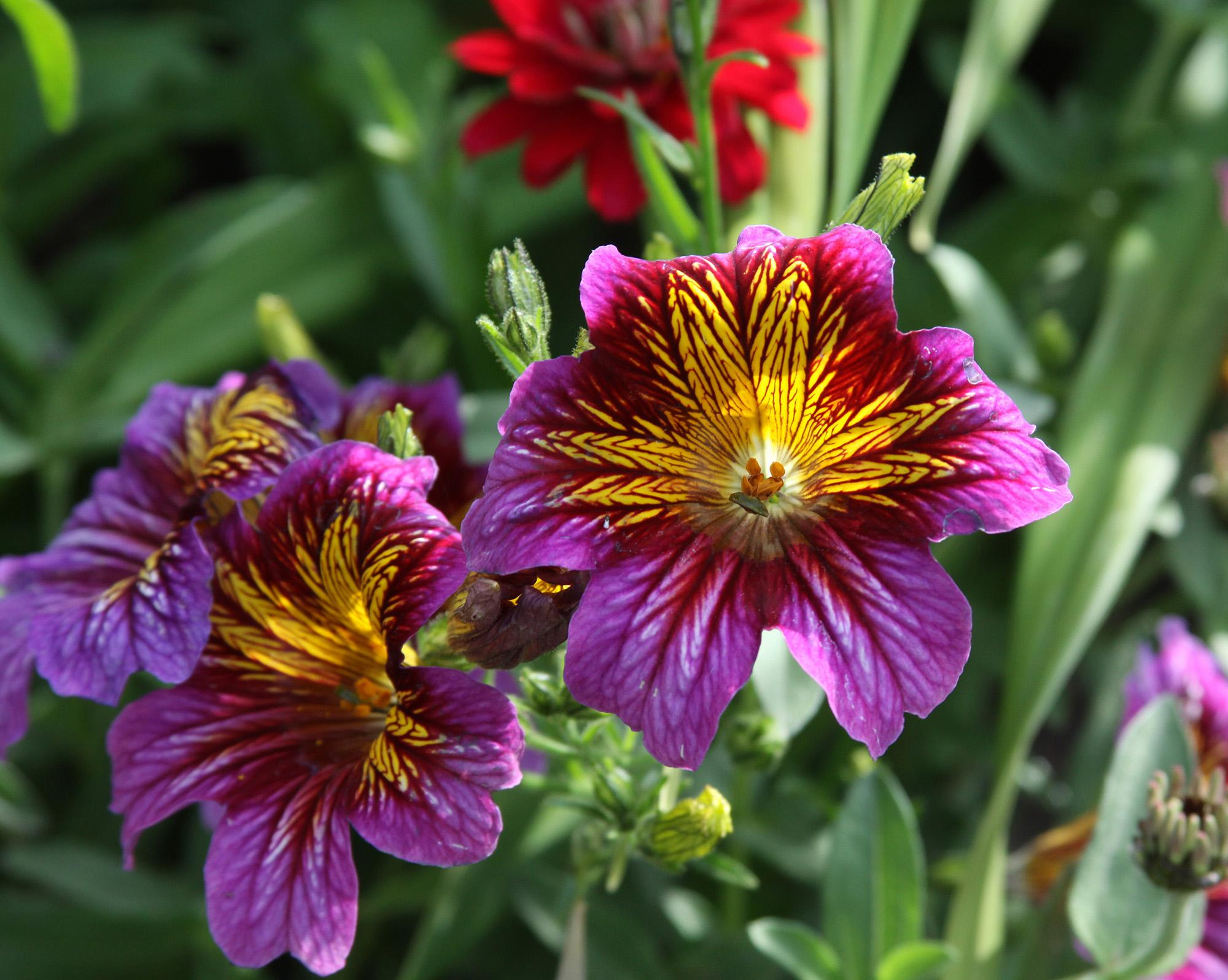 In the garden flowers bring beauty and pollinators to the garden painted tongue or salpiglossis is both a beautiful annual and a wonderful cut flower izmirmasajfo