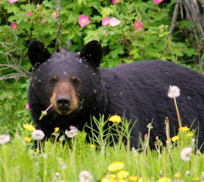 Priest Lake area bear attack injures 60YO woman, 2 dogs