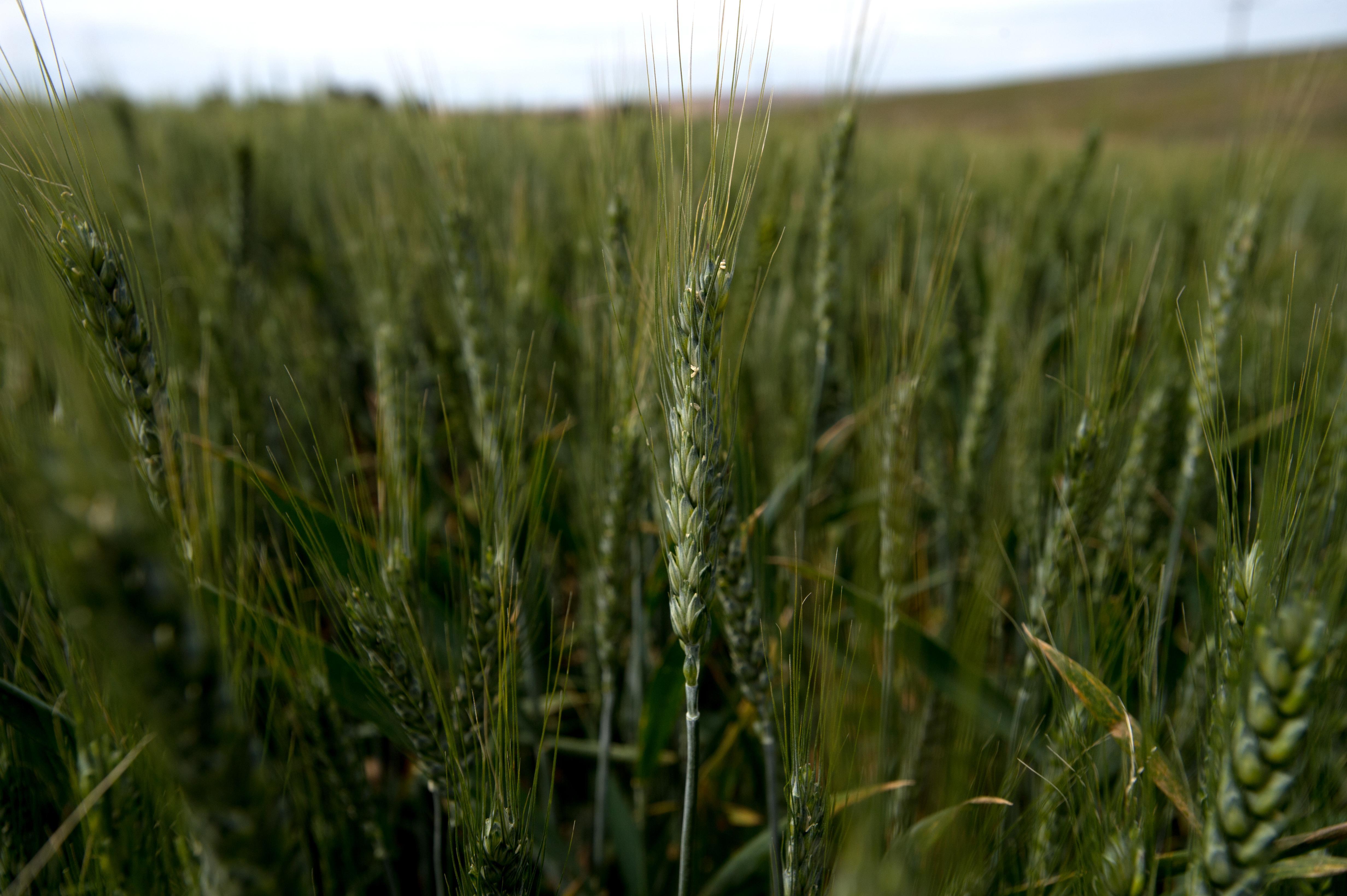 The world of wheat: Growing grain in Washington | The