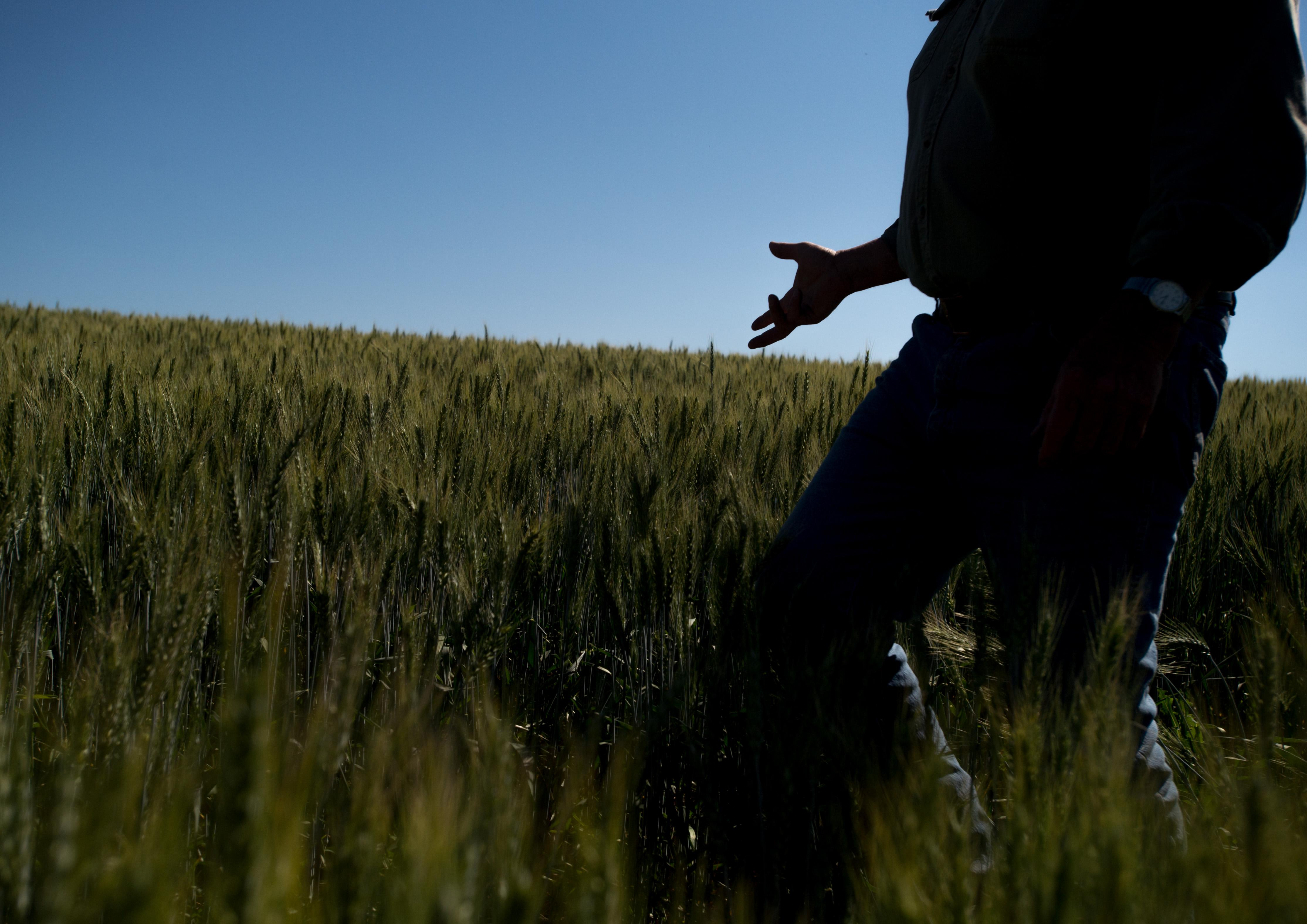 Bill Myers gives a tour of one of his wheat fields on Wednesday, July 5, 2017, in Colfax, Wash. (Tyler Tjomsland / The Spokesman-Review)
