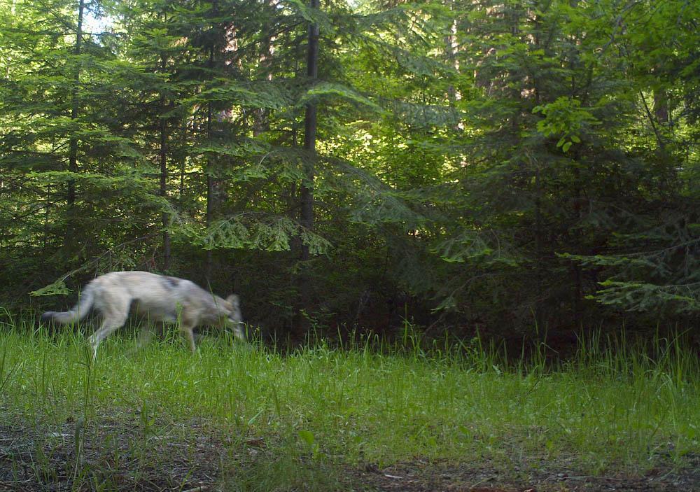 Washington S Gray Wolf Population Increases For Ninth Consecutive