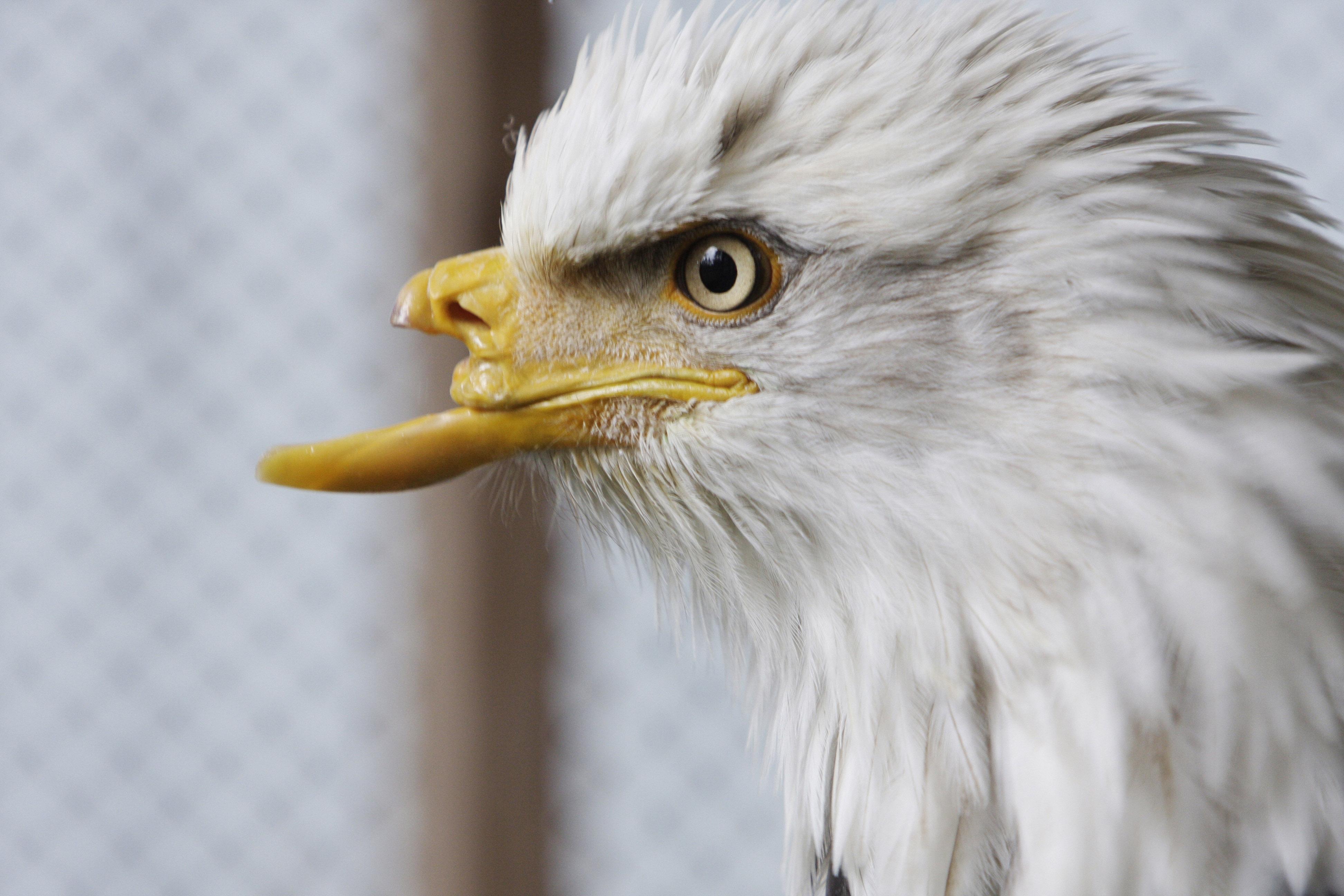 Eagle beak - photo#32
