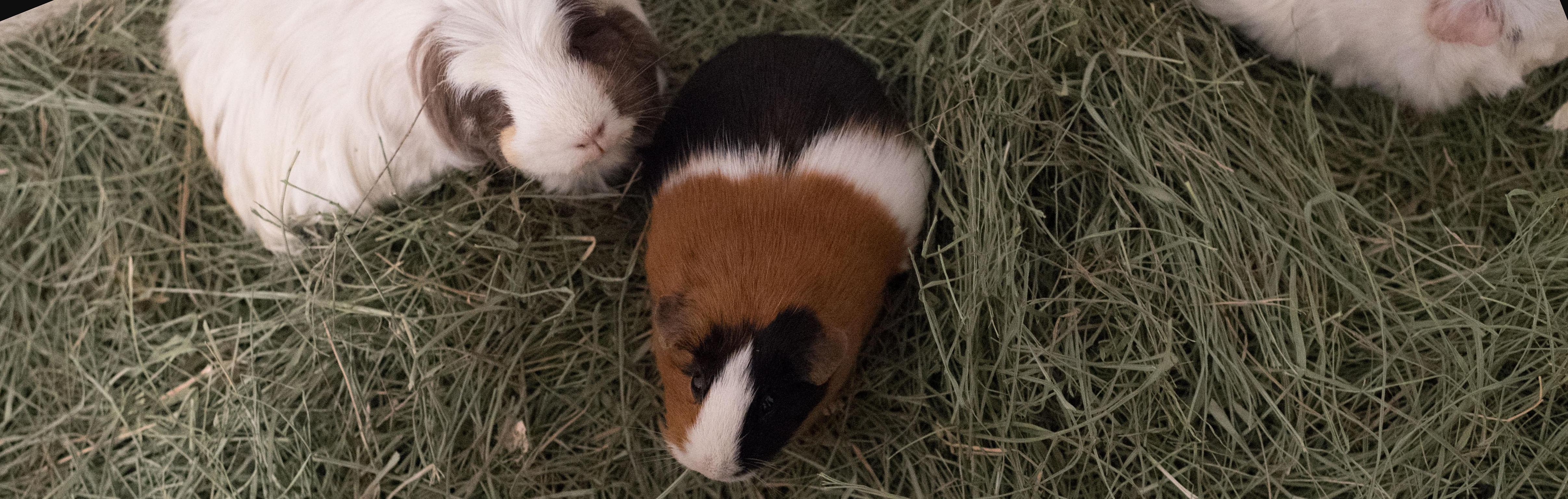Dozens of new guinea pigs for Nine Mile Falls family after tiny