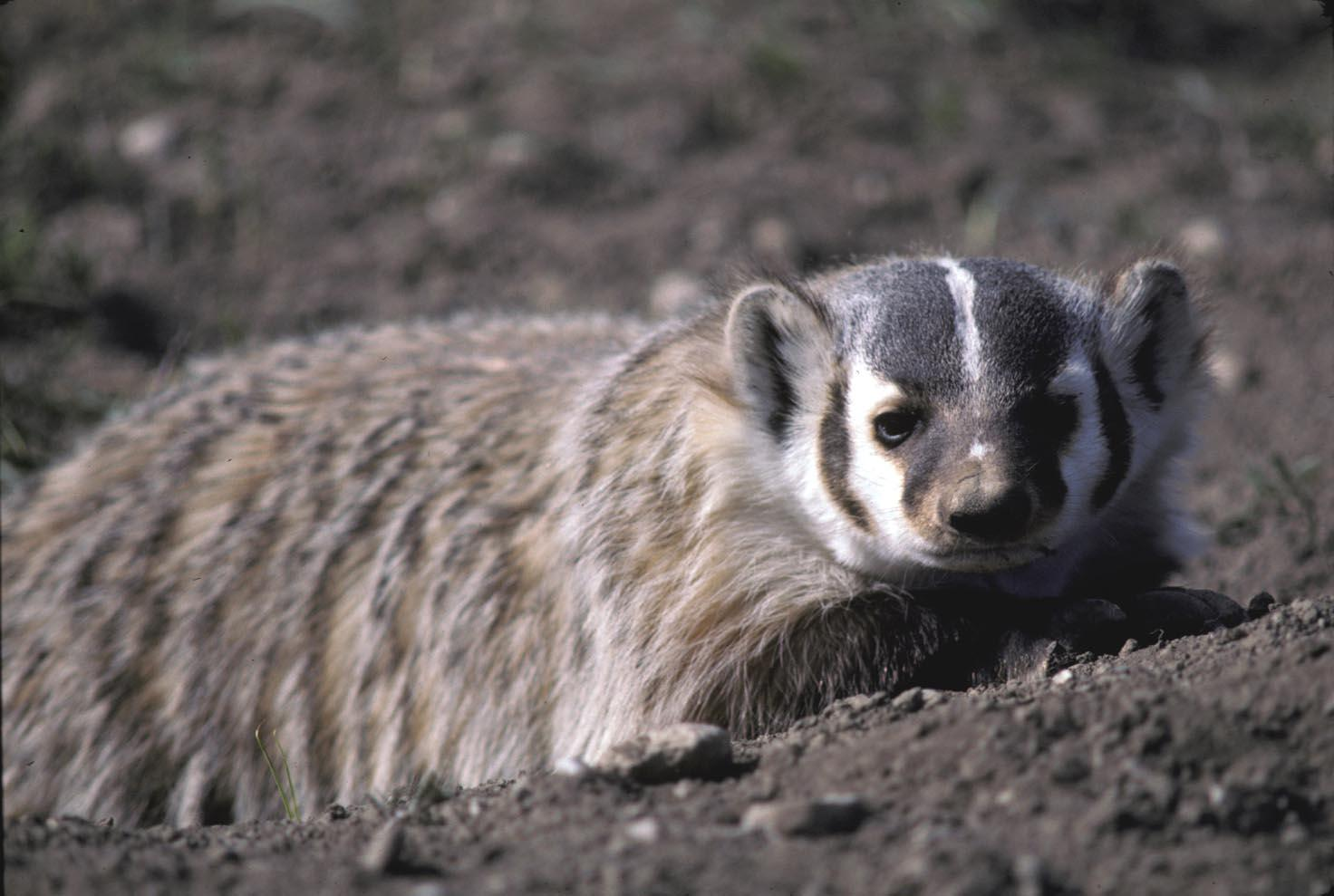 Bruce Auto Parts >> Rarely seen badgers slow their digging frenzies as winter ...