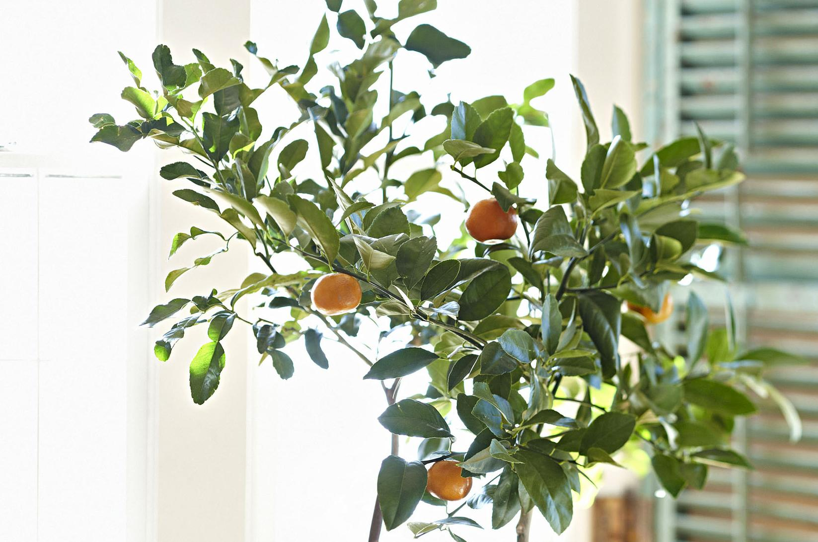 Growing Citrus Indoors Takes Patience Pays Off Handsomely