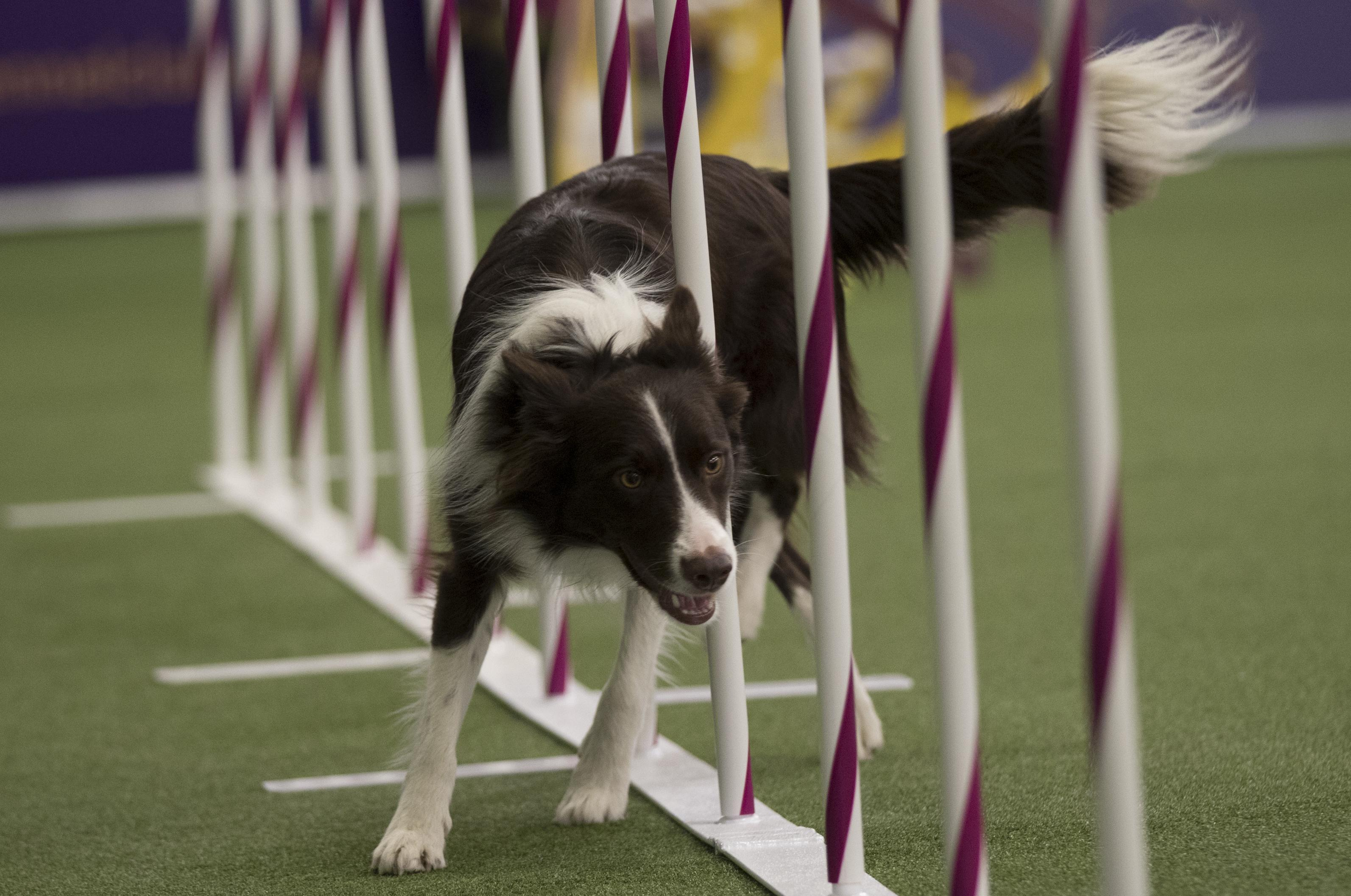 as westminster dog show kicks off washington competition judge