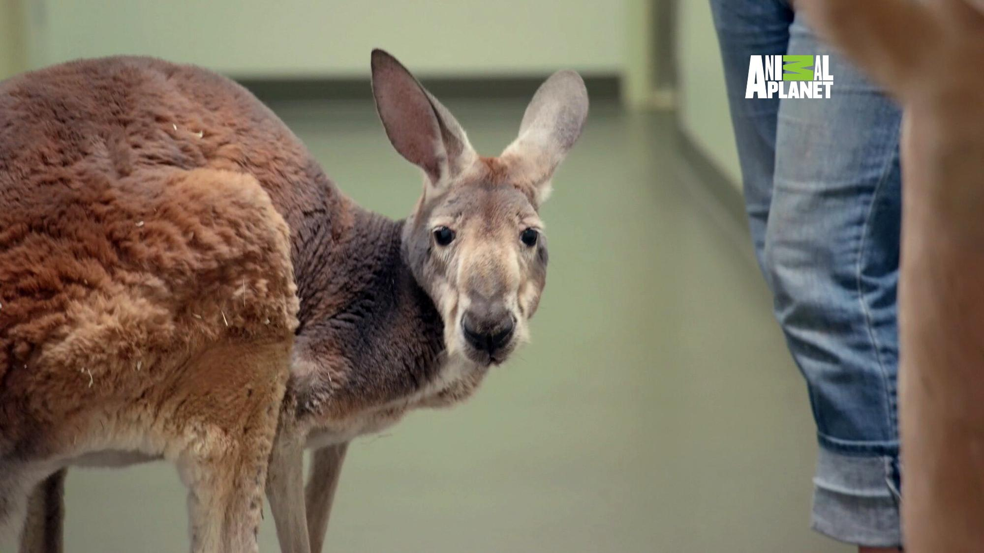 Aging kangaroo to get cryotherapy treatment for arthritis