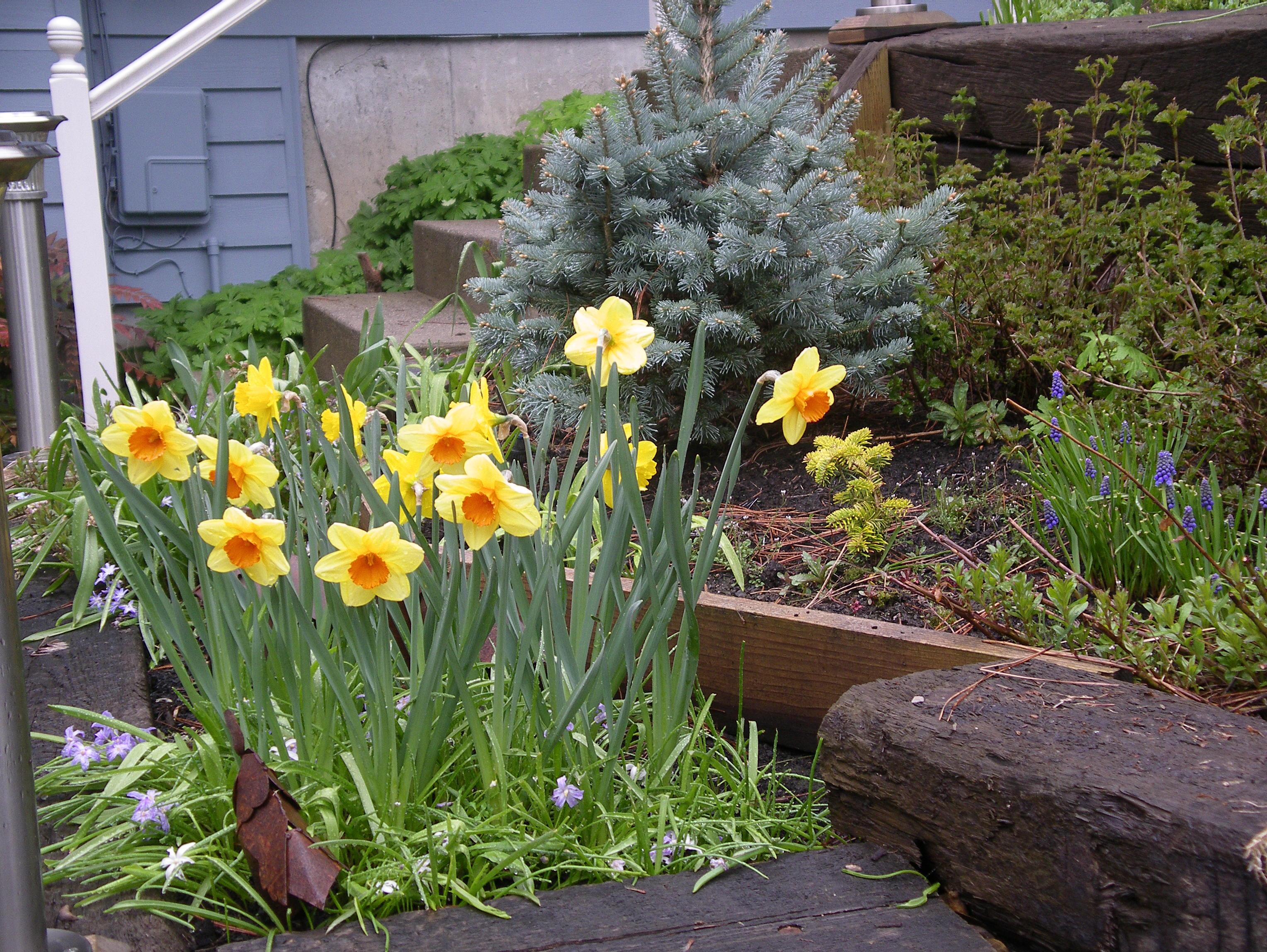 Daffodils Brighten Our Gardens Every Spring. Feed Them Some 10 10 10  Fertilizer