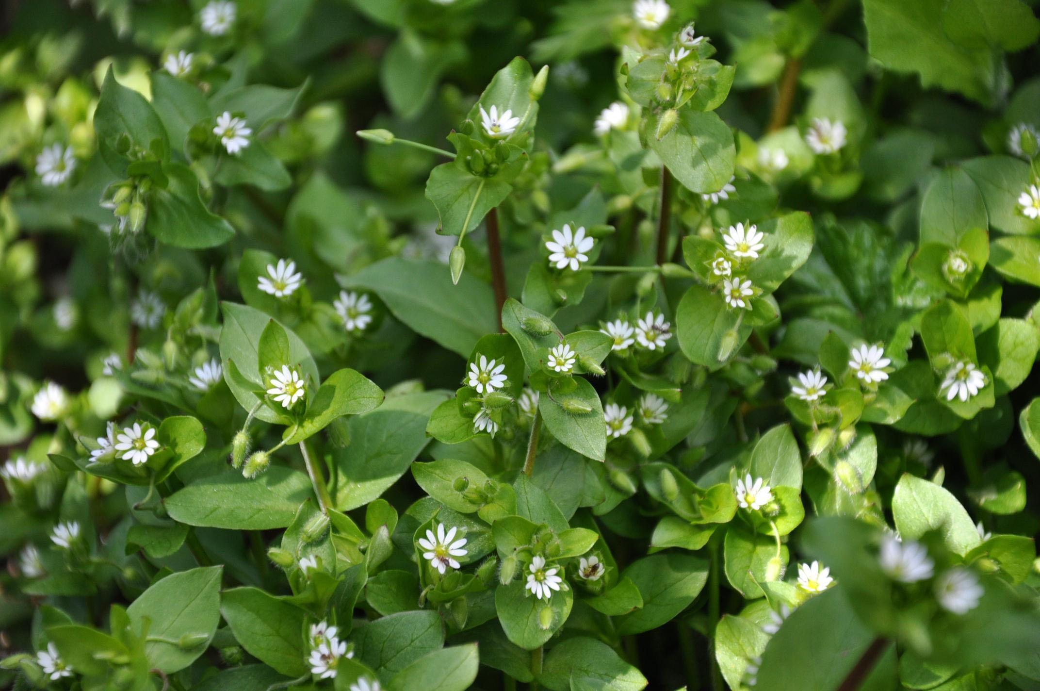 Gardening to control chickweeds timing is everything the the common chickweeds tiny star shaped white flowers are blooming right now and mightylinksfo