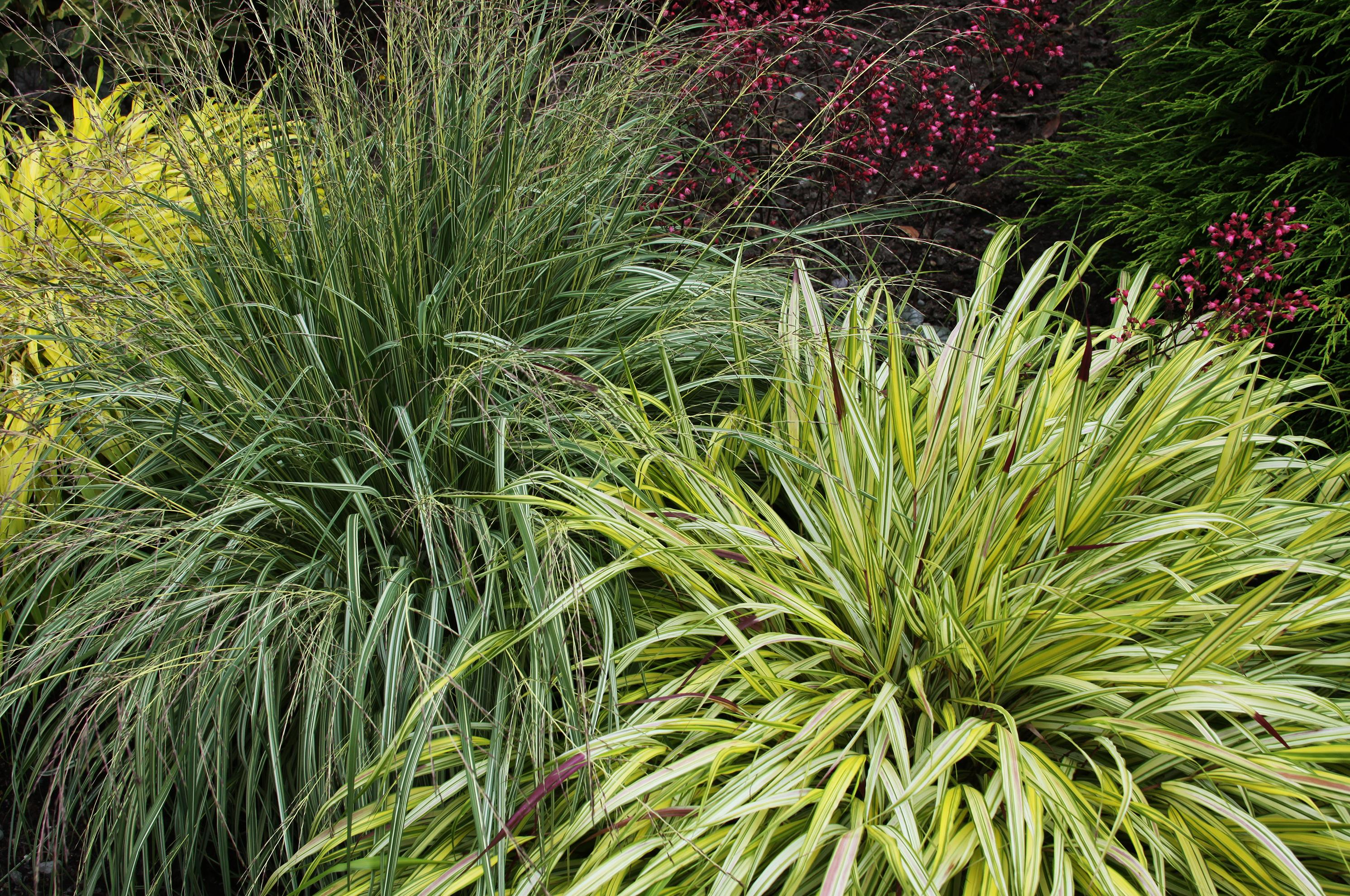 Annual Ornamental Grasses In the garden largest area plant sales on the horizon the ornamental grasses will be one of the many offerings at the spokane county master gardeners workwithnaturefo