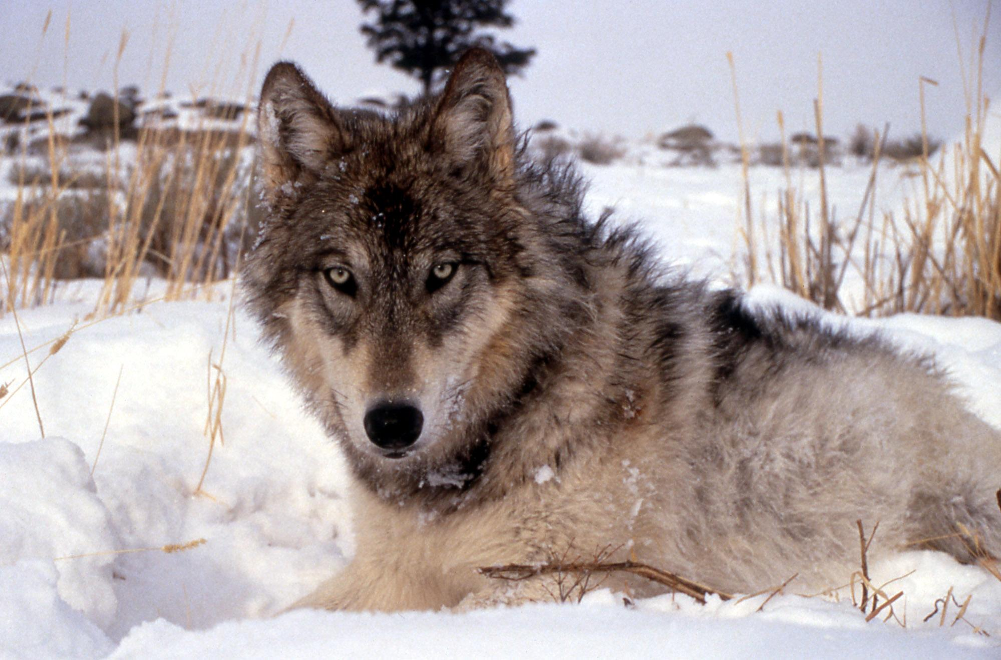 File This Image Provided By The National Park Service Shows A Gray Wolf In