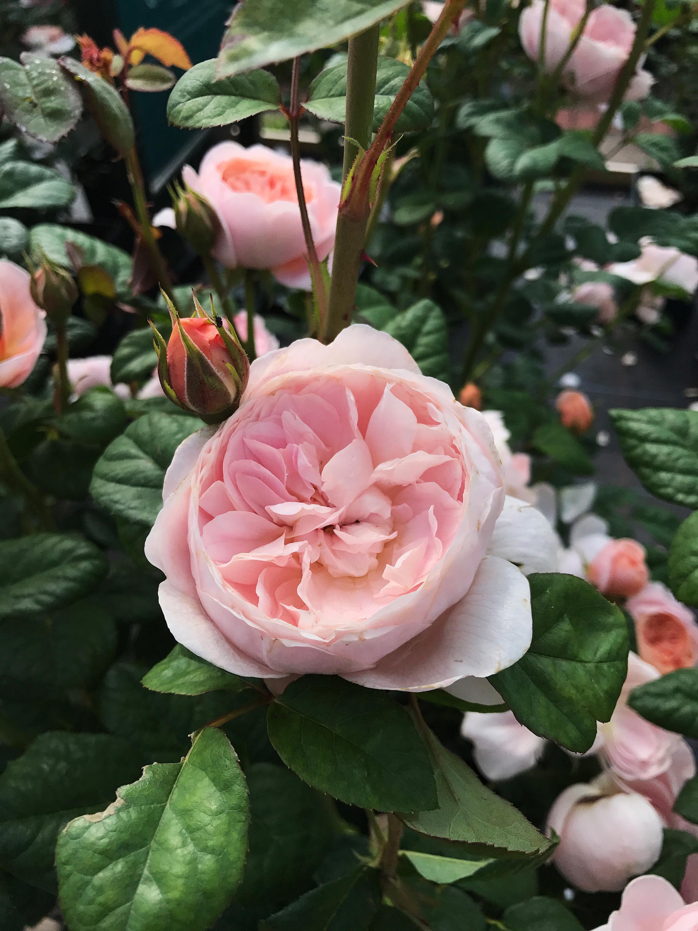 Roses In Garden: In The Garden: Celebrate Roses With Lecture, Show
