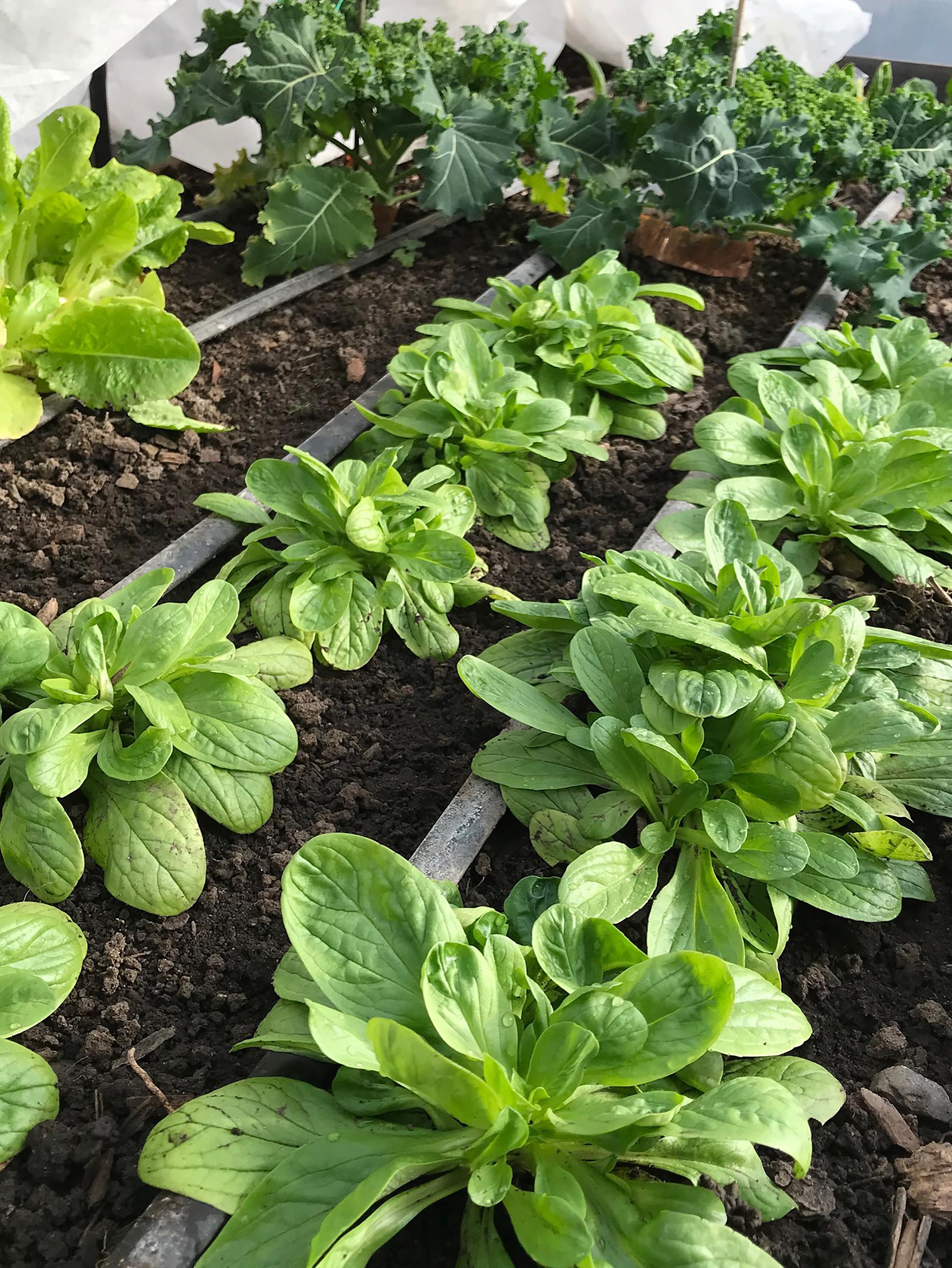 Itu0027s Possible To Grow Greens During The Winter Months By Selecting  Cold Hardy Vegetable Varieties