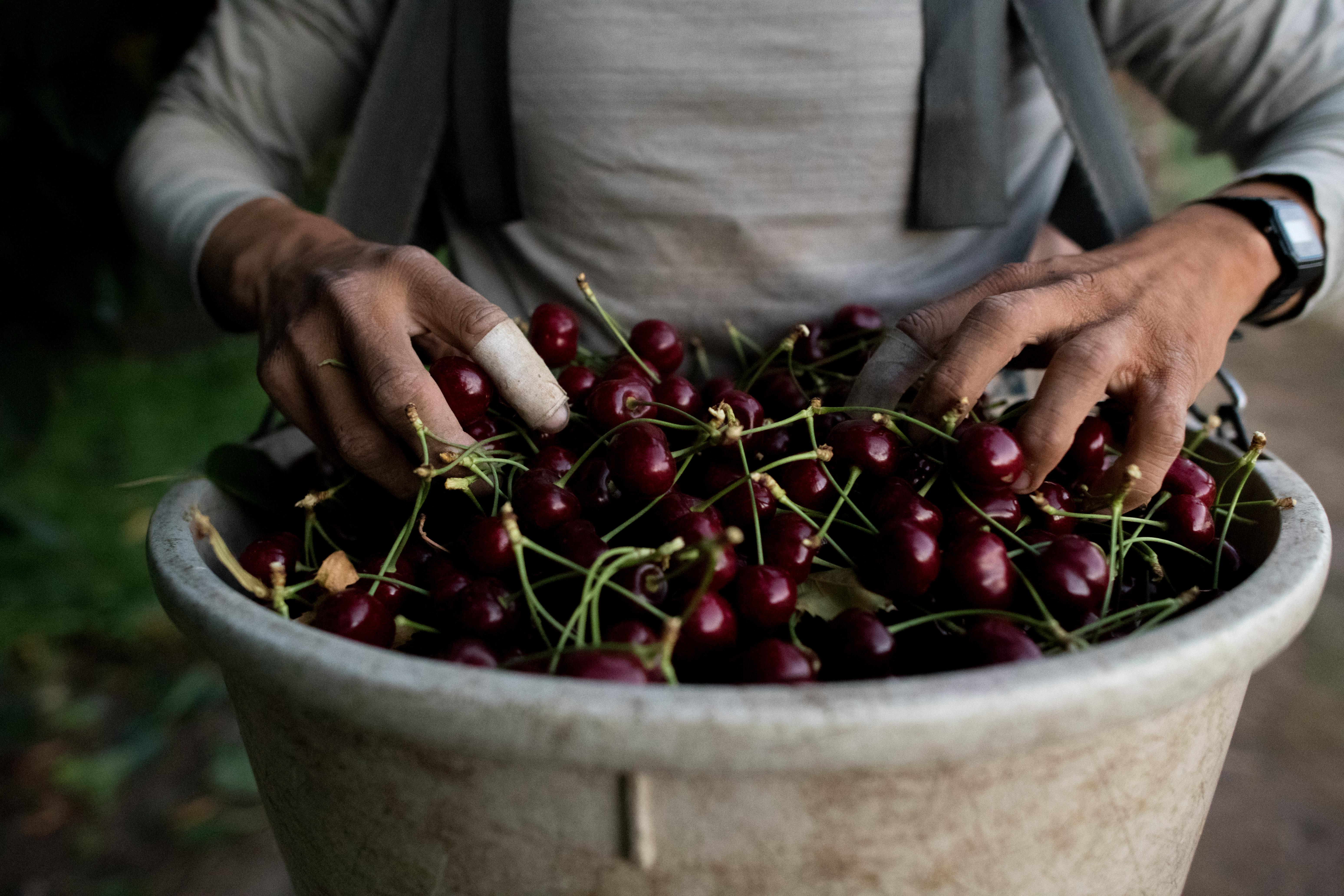 Jorge Bacquez, 29, holds the first of five, 330-pound bins of cherries he picked on Thursday, August 2, 2018, at Jake the Gutzwiler family orchard in Wenatchee, Wash. (Tyler Tjomsland / The Spokesman-Review)