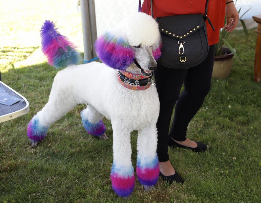 Ridgefield Poodle Party Fun For Dogs Owners The Spokesman