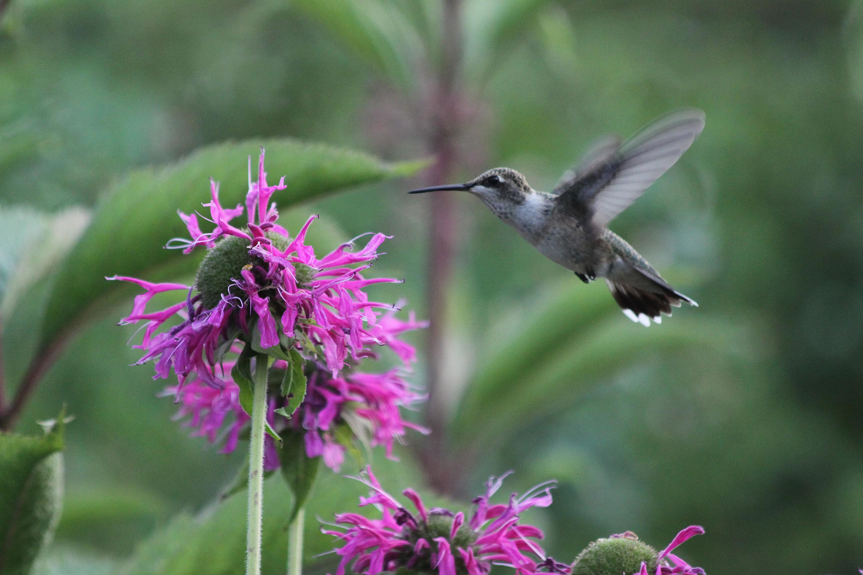 In The Garden Find Hummingbirds Favorite Perennials At Friends Of