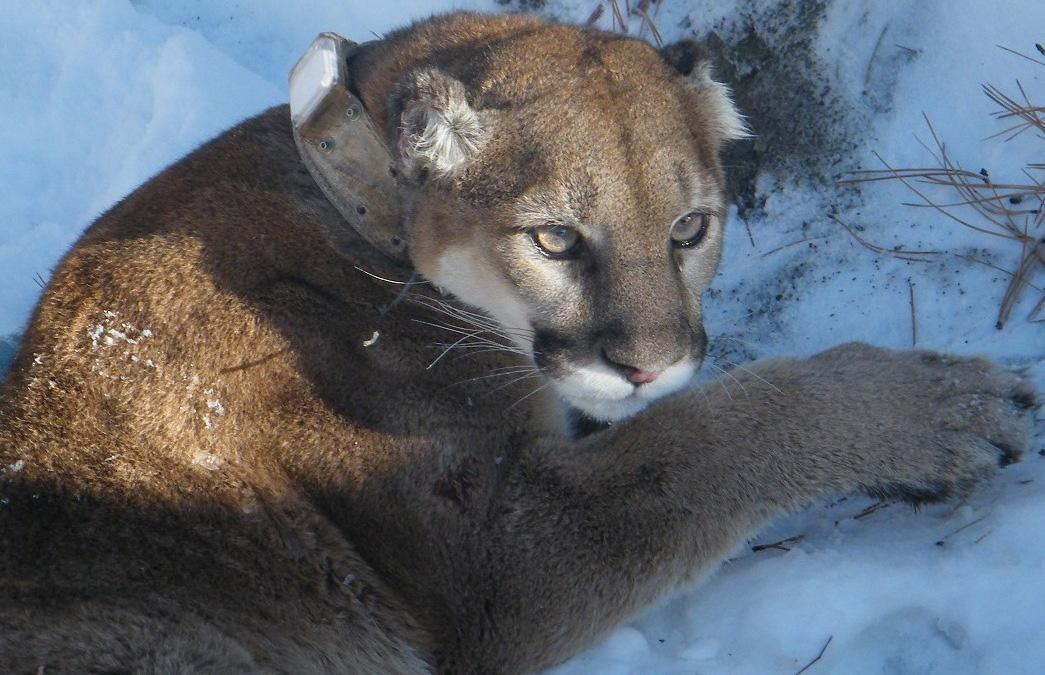 Increased cougar sightings don't necessarily mean increase
