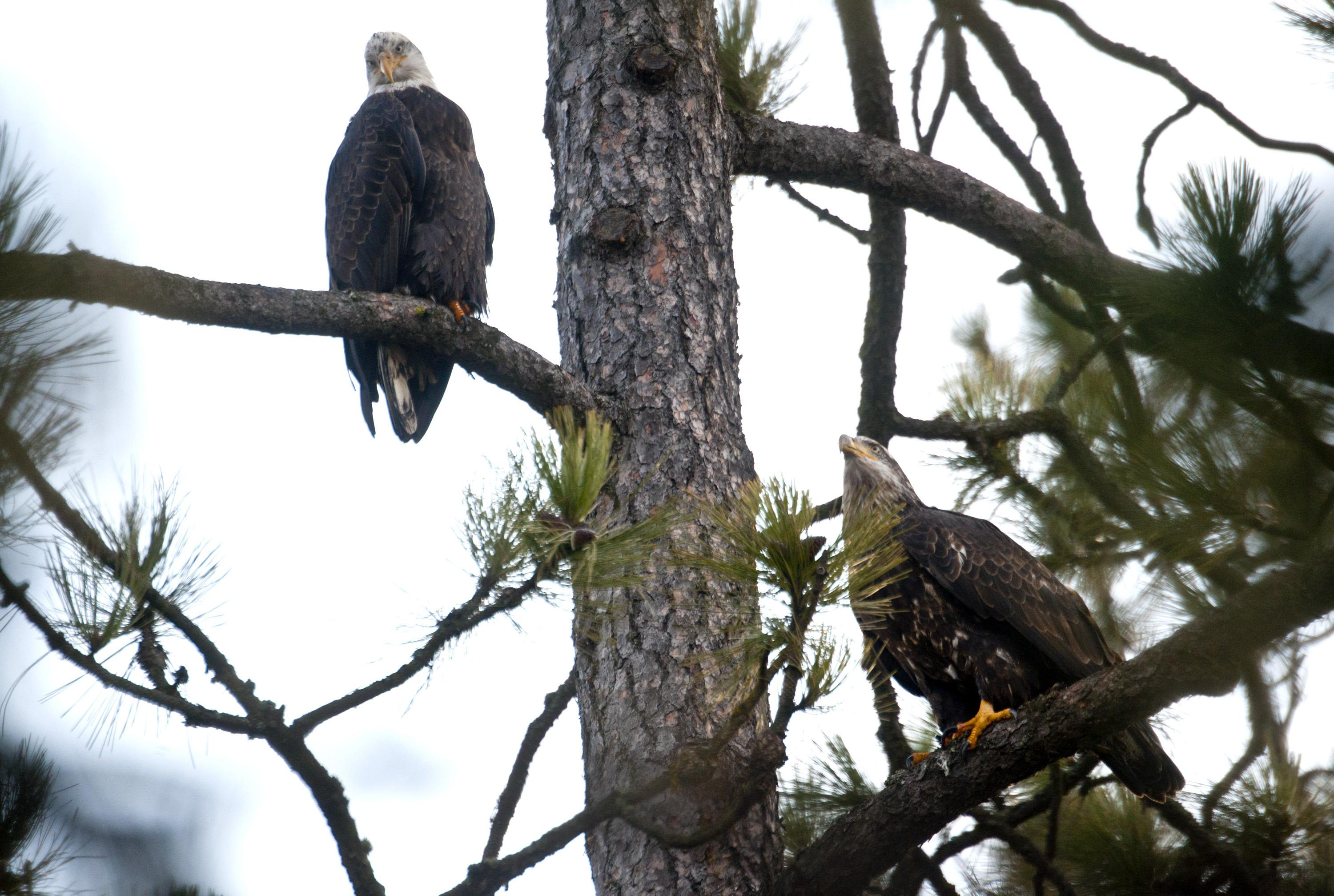 Coeur d'Alene Eagle Watch Week a victim of government