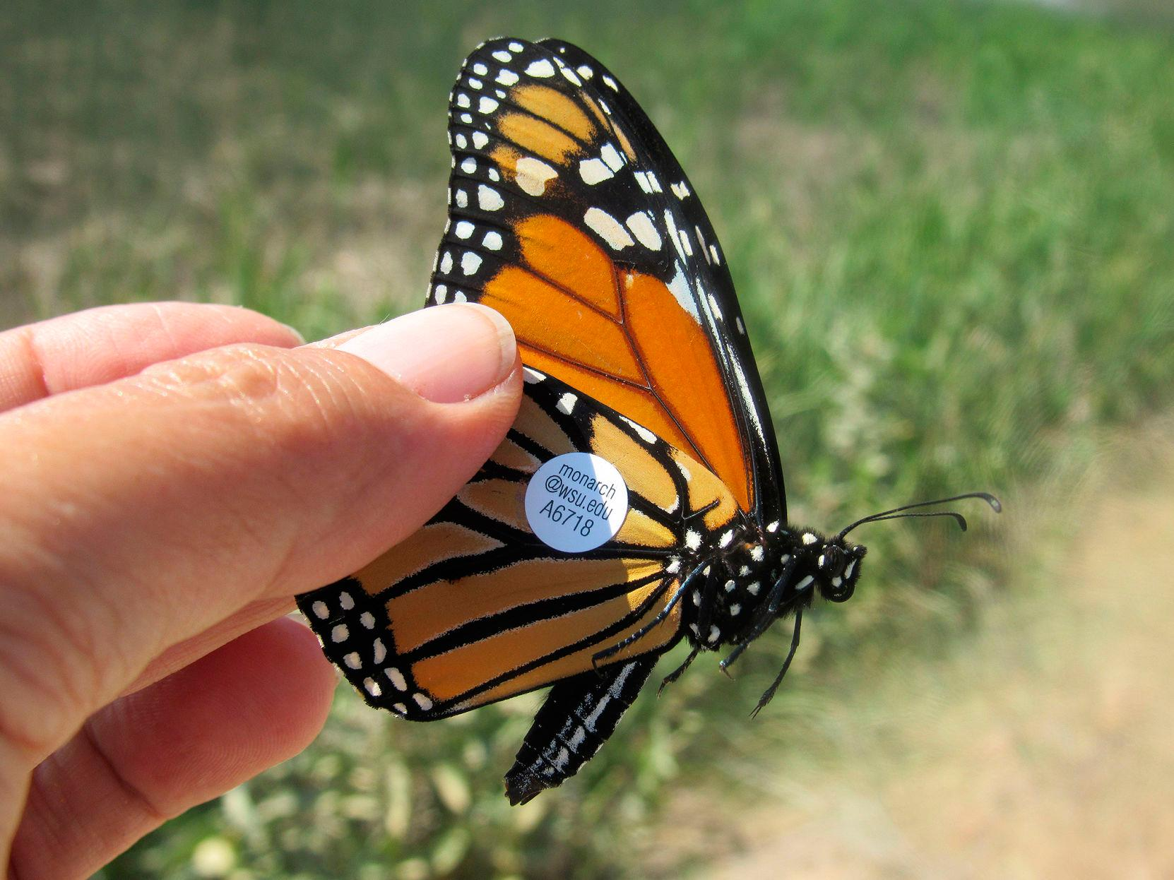 Where Have All Monarchs Gone >> Where Have All The Butterflies Gone Monarch Butterflies All But