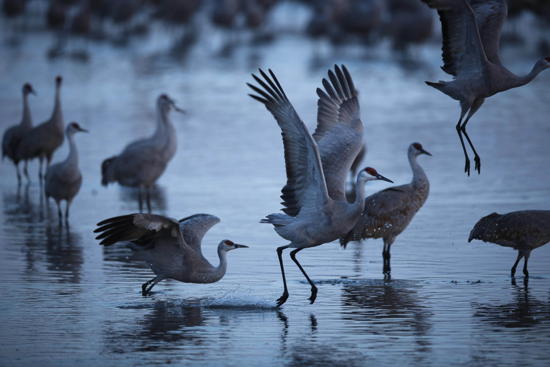 Stalking Elusive Sandhill Crane From >> March Magic Nebraska S Sandhill Crane Migration Gives New Meaning