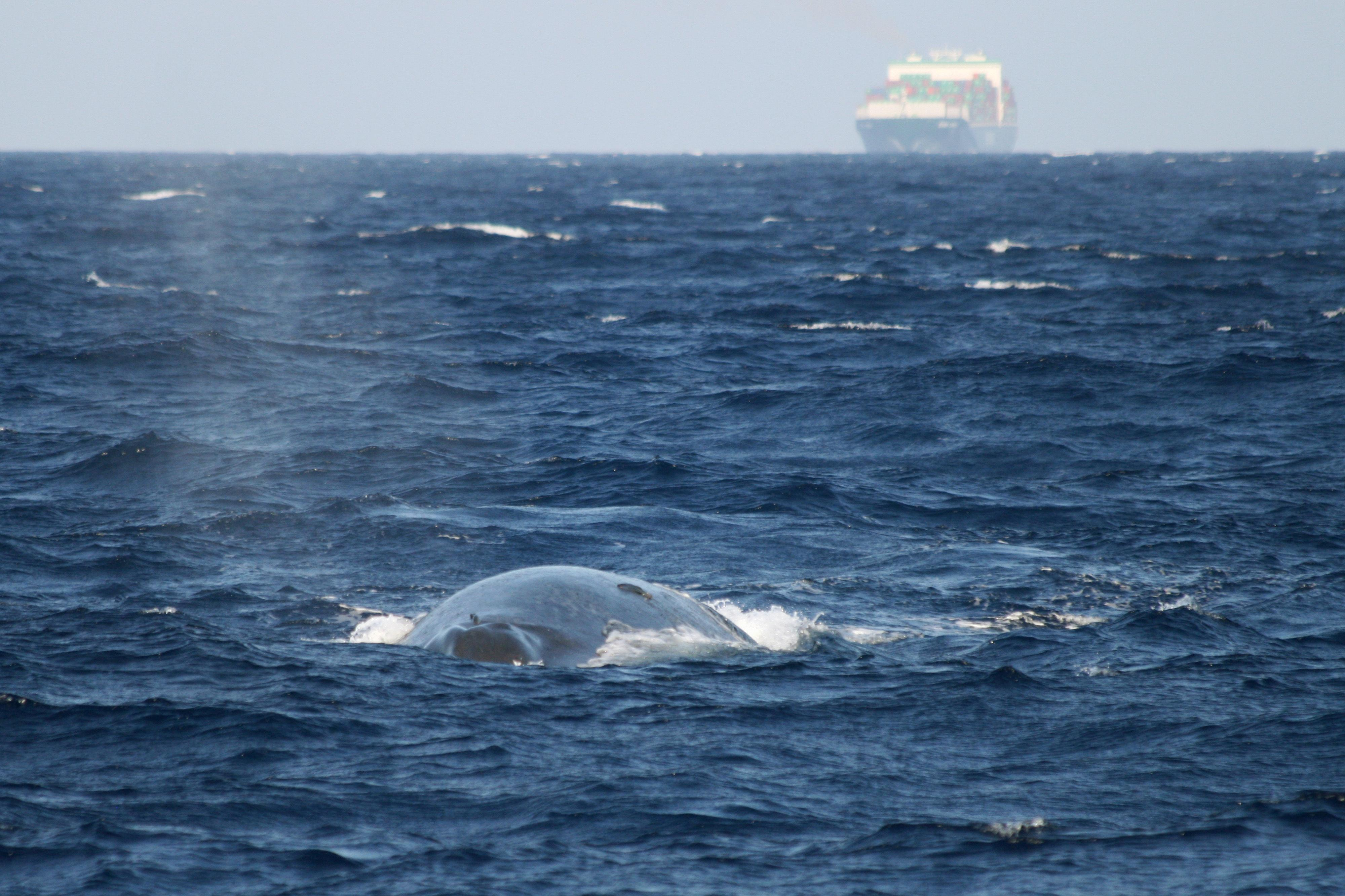 Alliance to save blue whales from ships stalled by Sri Lanka | The