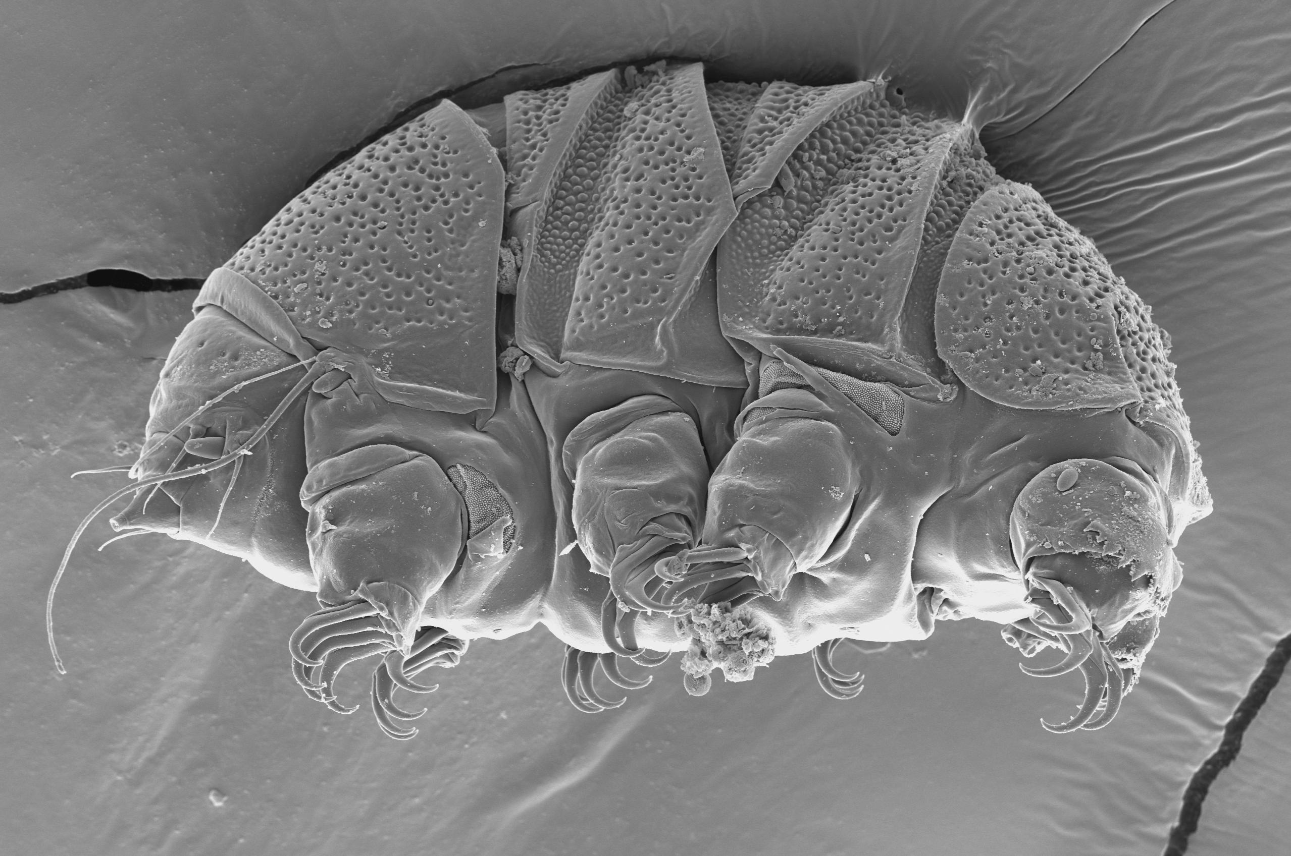 Science Says: Tiny 'water bears' can teach us about ... Water Bear Size Comparison