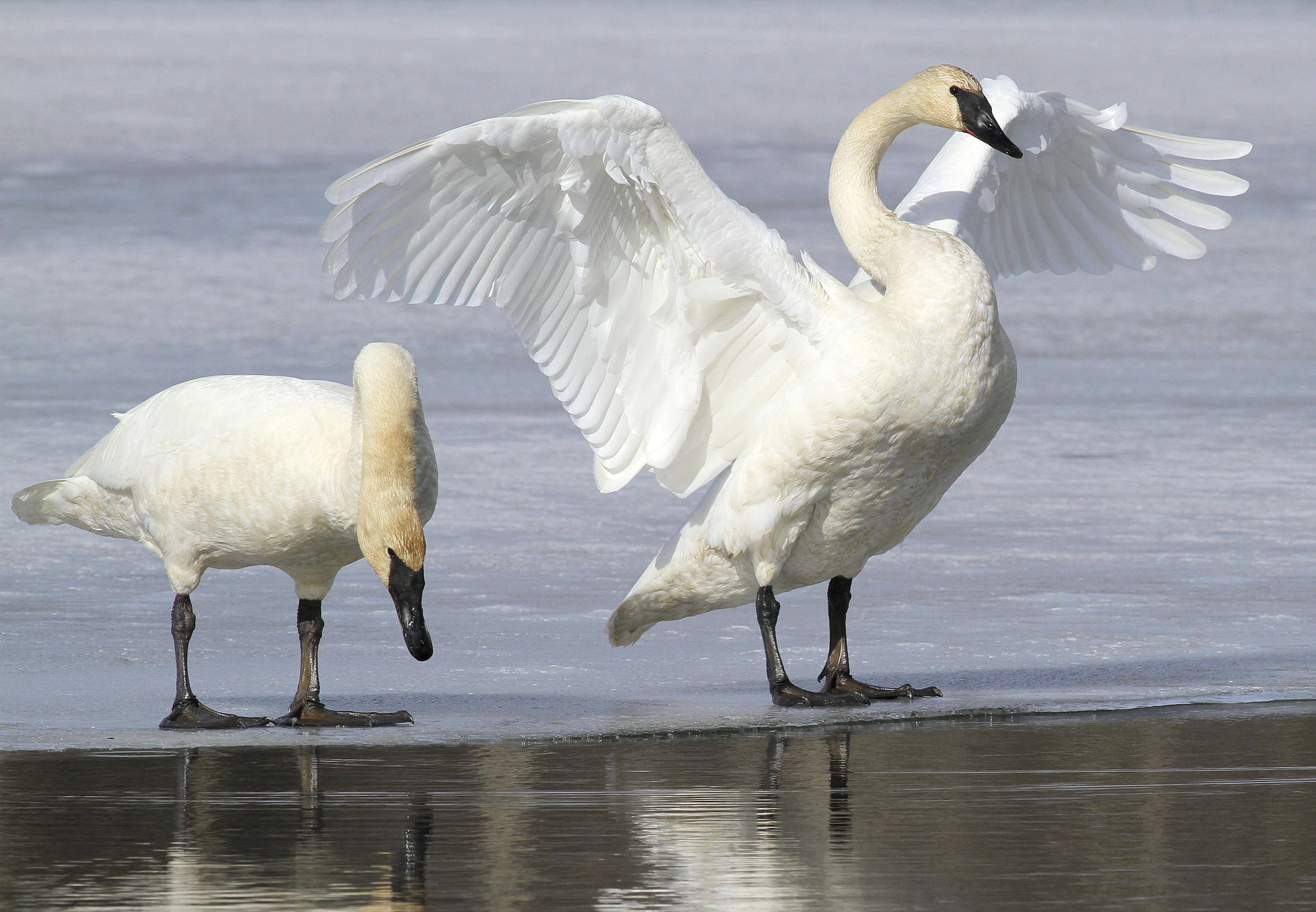 Swans Have Come Back >> More Than 50 Trumpeter Swans Found Dead Near Monroe Swx Right Now
