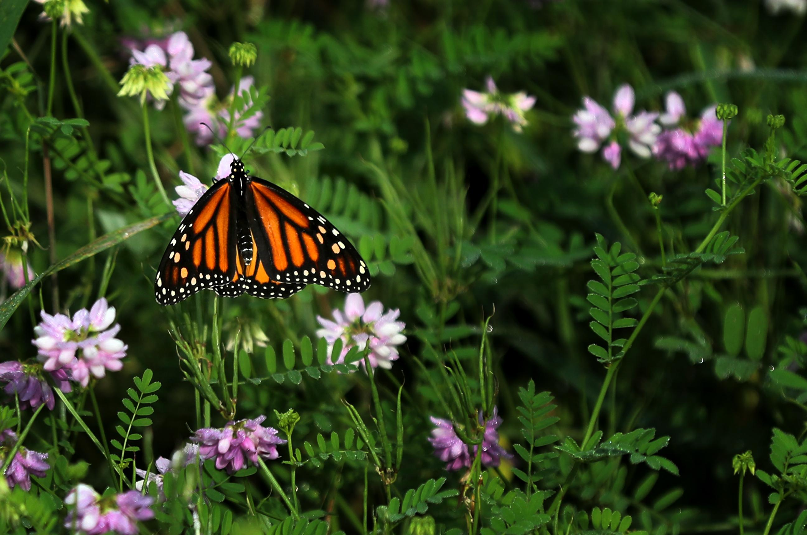 As monarch butterflies vanish, researchers investigate road